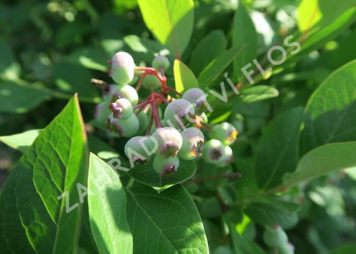 Borůvka chocholičnatá, kanadská borůvka 'Bluecrop' - Vaccinium corymbosum 'Bluecrop'