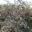 Bez černý 'Black Beauty' - Sambucus nigra 'Black Beauty'
