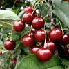 Višeň středně raná - kyselka 'Érdi Bötermö' - Prunus cerasus 'Érdi Bötermö'