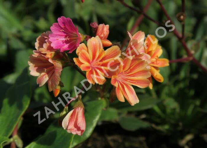 Levisie 'Rainbow Mix' - Lewisia x cotyledon 'Rainbow Mix'
