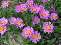 Hvězdnice alpská 'Beauty Rose' - Aster alpinus 'Beauty Rose'