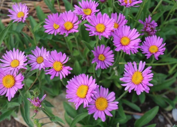 Hvězdnice alpská 'Beauty Rose' - Aster alpinus 'Beauty Rose'