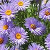 Hvězdnice alpská 'Beauty Blue' - Aster alpinus 'Beauty Blue'