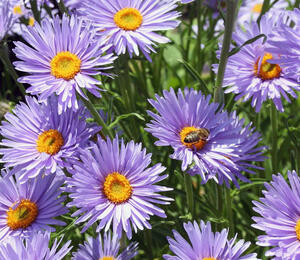Hvězdnice alpská 'Beauty Blue' - Aster alpinus 'Beauty Blue'