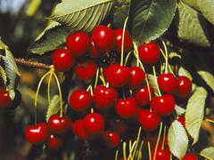 Třešeň raná - srdcovka 'Karešova' - Prunus avium 'Karešova'