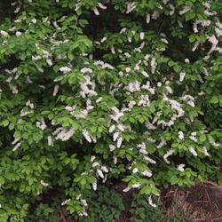 Střemcha obecná - Prunus padus