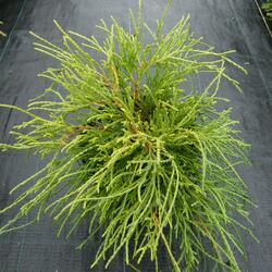 Cypřišek hrachonosný 'Sungold' - Chamaecyparis pisifera 'Sungold'
