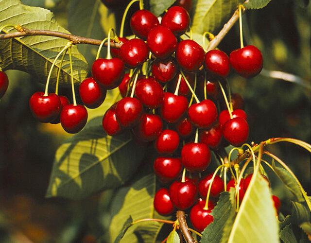 Třešeň pozdní - chrupka 'Kordia' - Prunus avium 'Kordia'