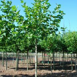 Platan javorolistý - Platanus acerifolia