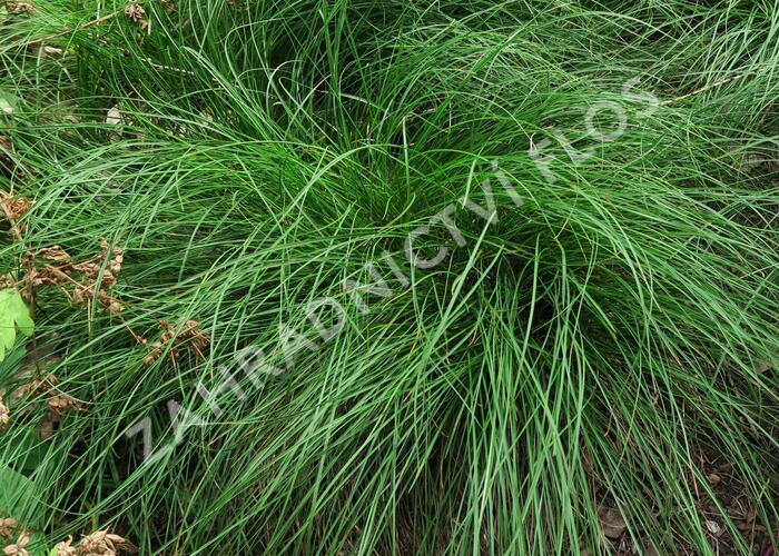 Ostřice nízká - Carex humilis (F)