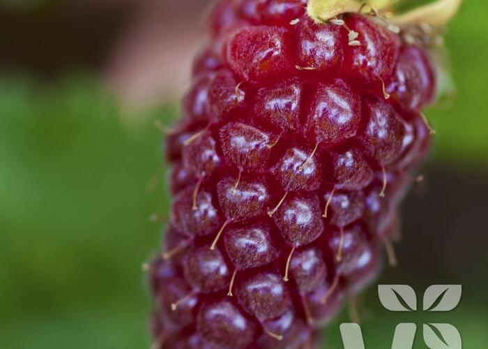Malinoostružina 'Medana' - Rubus hybridus 'Medana'