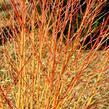 Svída krvavá 'Midwinter Fire' - Cornus sanguinea 'Midwinter Fire'