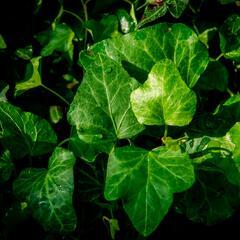 Břečťan popínavý 'Green Wonder' - Hedera helix 'Green Wonder'