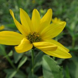 Slunečnice - Helianthus atrorubens