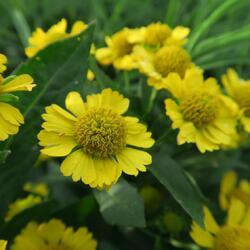 Záplevák podzimní 'Helena' - Helenium autumnale 'Helena'