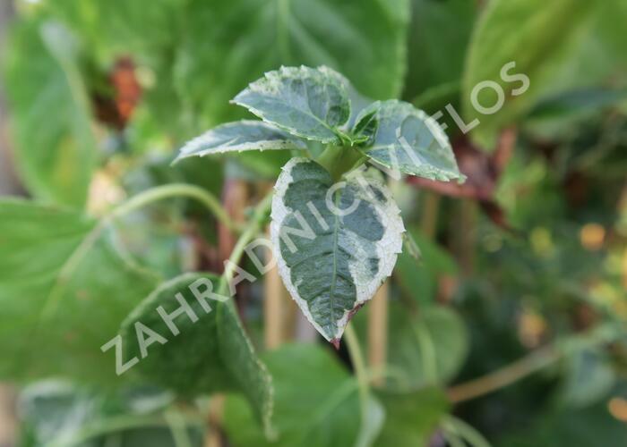 Hortenzie řapíkatá 'Take a Chance' - Hydrangea petiolaris 'Take a Chance'