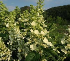 Hortenzie latnatá 'Unique' - Hydrangea paniculata 'Unique'
