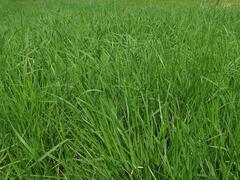 Pěchava vápnomilná - Sesleria albicans (caerulea)