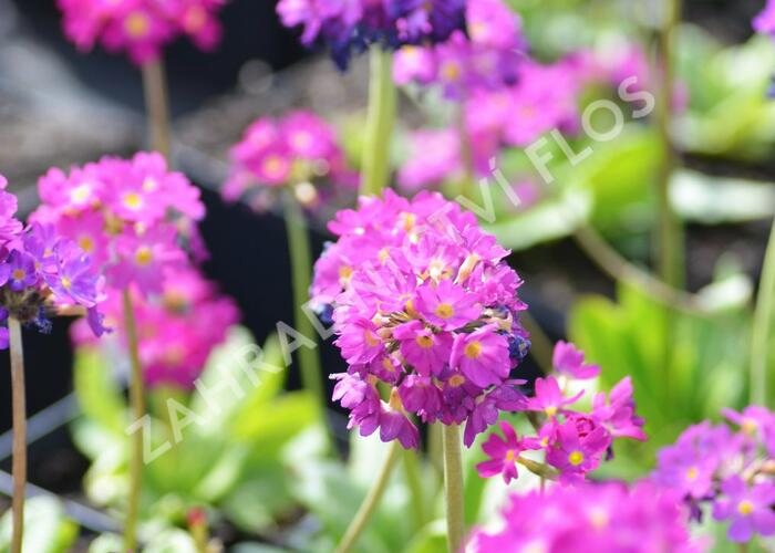 Prvosenka zoubkatá 'Rubin Auslese' - Primula denticulata 'Rubin Auslese'