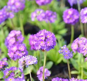 Prvosenka zoubkatá 'Blaue Auslese' - Primula denticulata 'Blaue Auslese'