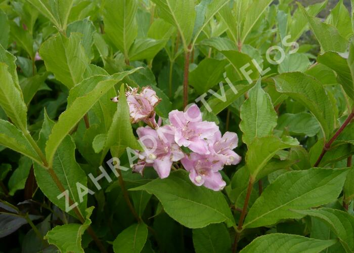 Vajgélie květnatá 'Boskoop Glory' - Weigela florida 'Boskoop Glory'