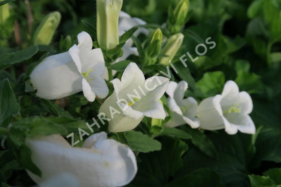 Zvonek zahradní 'Weiß' - Campanula medium 'Weiß'