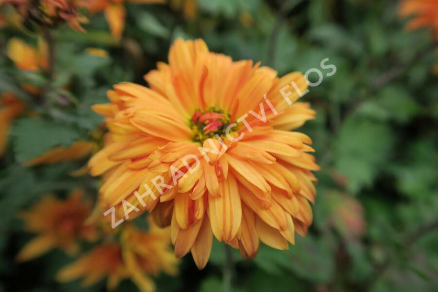 Listopadka indická 'Mandarine' - Chrysanthemum indicum 'Mandarine'