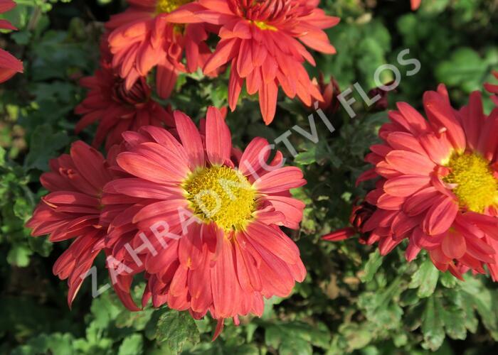 Listopadka indická 'Fellbacher Wein' - Chrysanthemum indicum 'Fellbacher Wein'