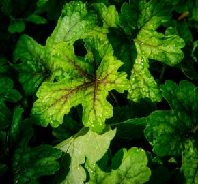 Dlužela 'Alabama Sunrise' - Heucherella hybrida 'Alabama Sunrise'
