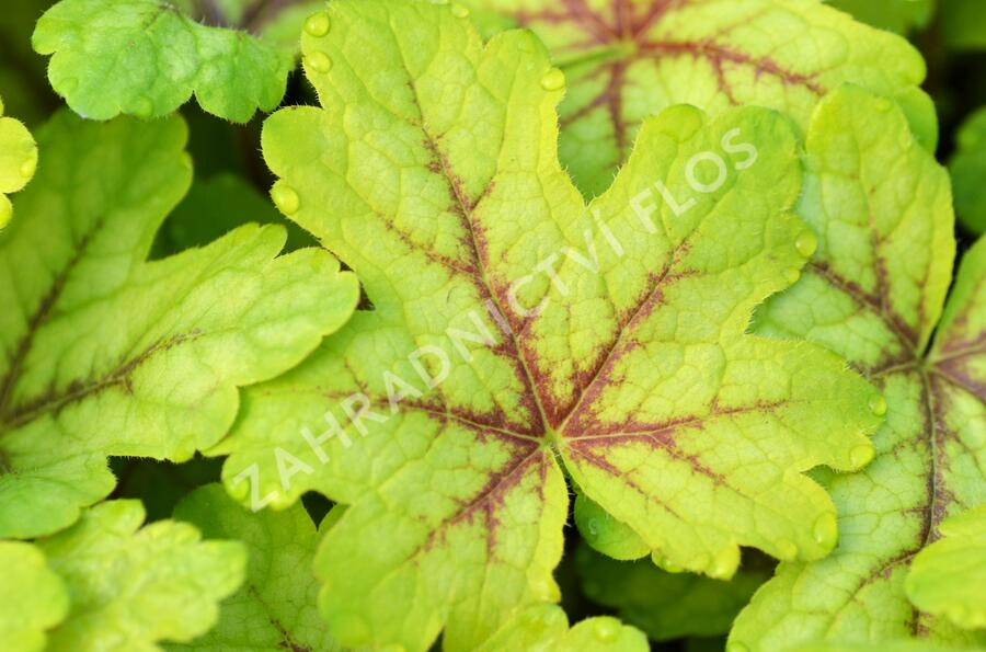 Dlužela 'Alabama Sunrise' - Heucherella hybrida 'Alabama Sunrise'