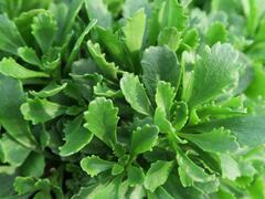 Rozchodník 'Immergrünchen' - Sedum hybridum 'Immergrünchen'