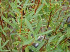 Vrba purpurová 'Nana' - Salix purpurea 'Nana'