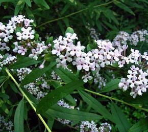 Motýlí keř, komule střidavolistá - Buddleia alternifolia