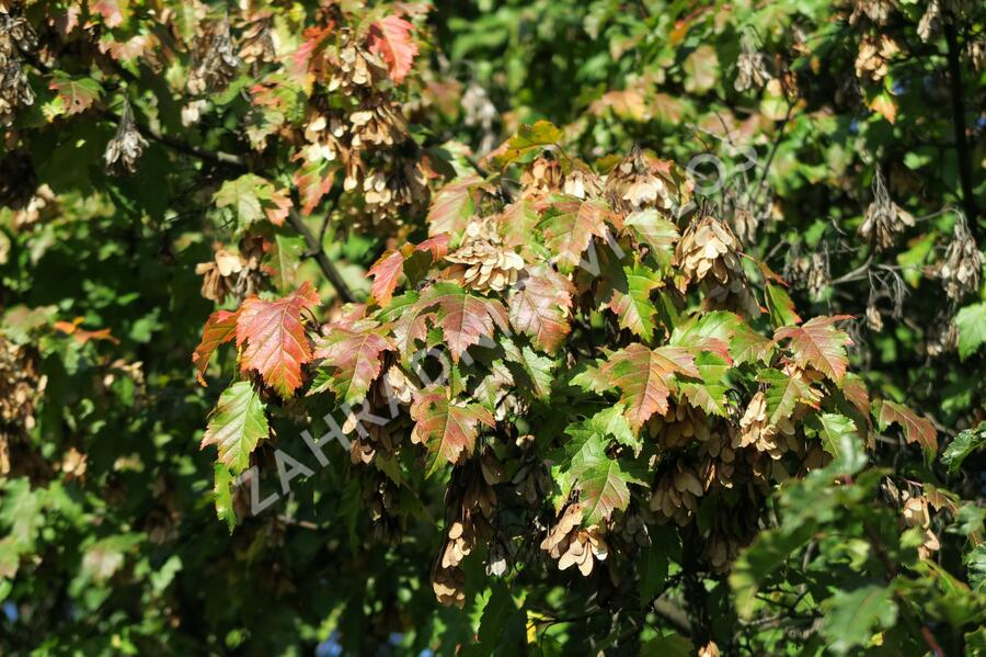 Javor ginnala - Acer ginnala