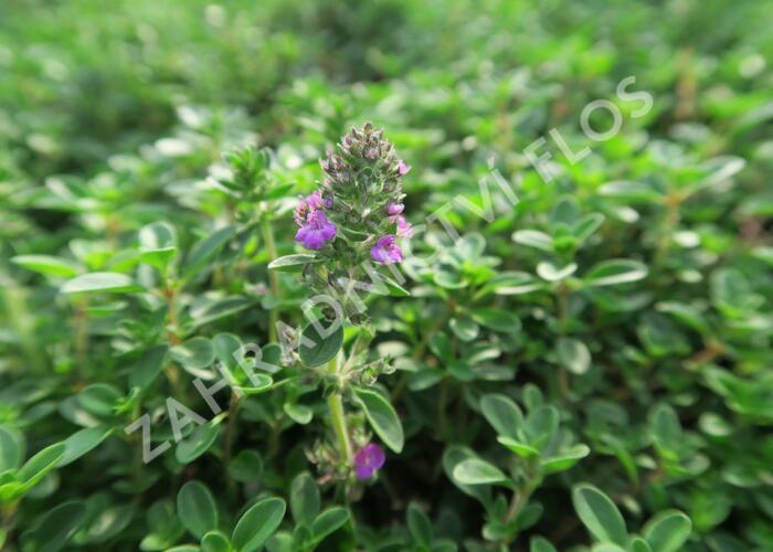 Mateřídouška 'Purpurteppich' - Thymus rotundifolius 'Purpurteppich'