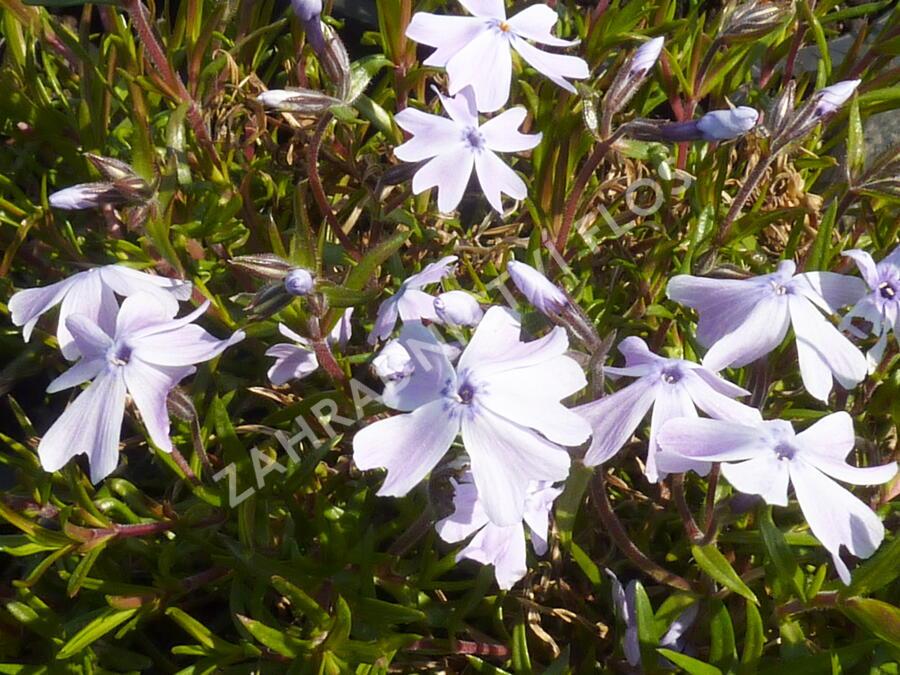 Plamenka 'Lilac Cloud' - Phlox douglasii 'Lilac Cloud'
