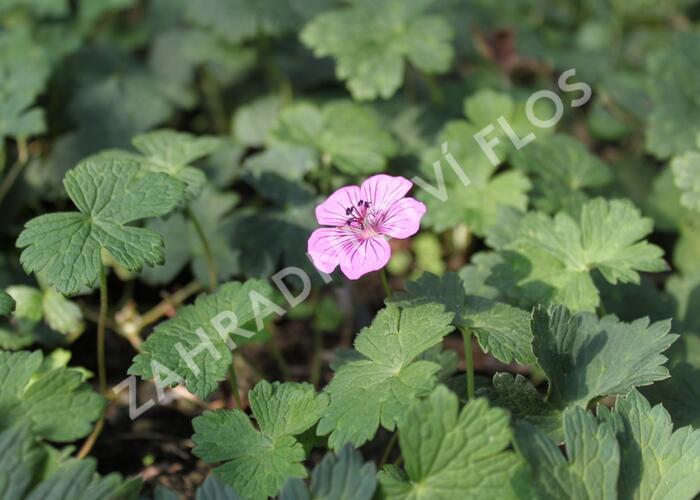 Kakost 'Pink Penny' - Geranium hybridum 'Pink Penny'