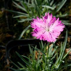 Hvozdík sivý 'Firewitch' - Dianthus gratianopolitanus 'Firewitch'