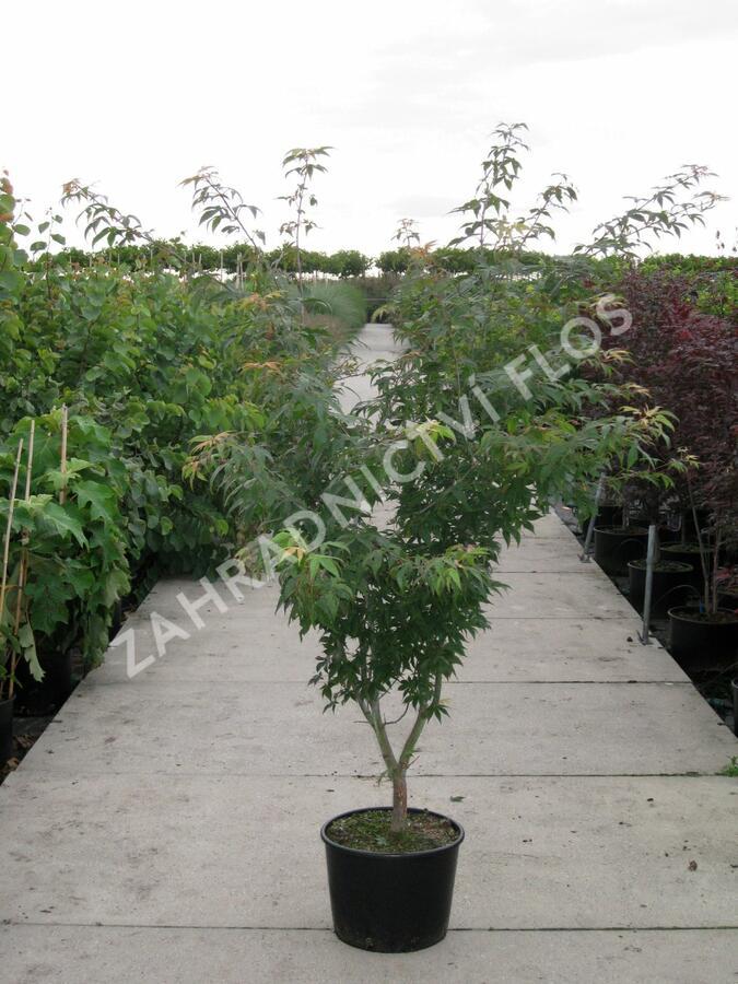 Javor dlanitolistý 'Osakazuki' - Acer palmatum 'Osakazuki'