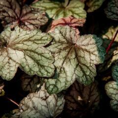 Dlužicha 'Plum Power' - Heuchera villosa 'Plum Power'