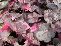Dlužicha 'Midnight Rose' - Heuchera hybrida 'Midnight Rose'