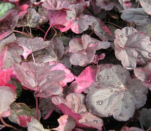 Dlužicha 'Midnight Rose' - Heuchera hybrida 'Midnight Rose'