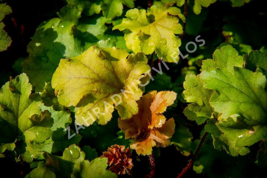Dlužicha 'Marmalade' - Heuchera hybrida 'Marmalade'
