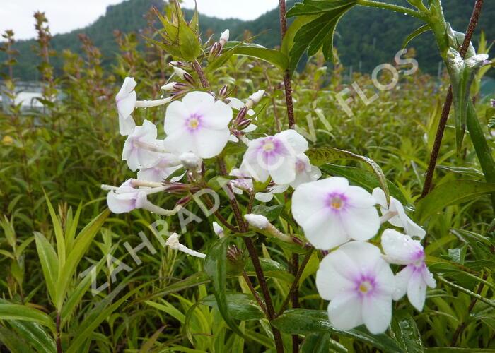 Plamenka 'Delta' - Phlox maculata 'Delta'