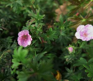 Kakost krvavý - Geranium sanguineum var. striatum