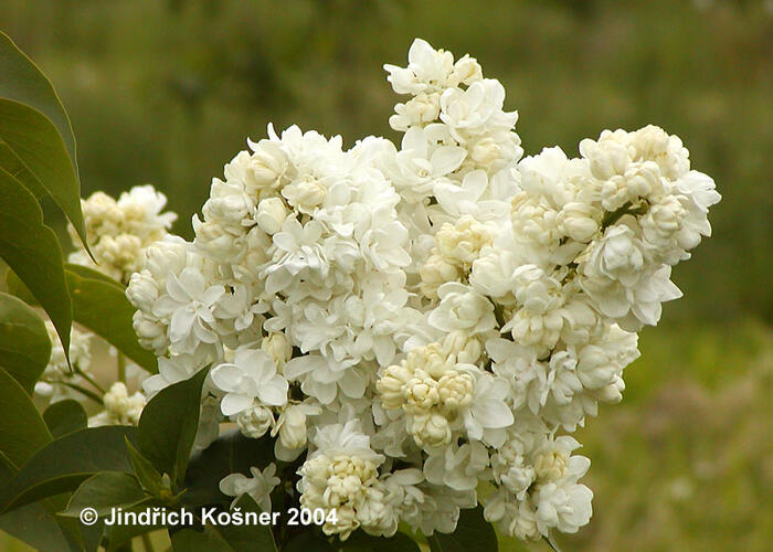 Šeřík obecný 'Monique Lemoine' - Syringa vulgaris 'Monique Lemoine'