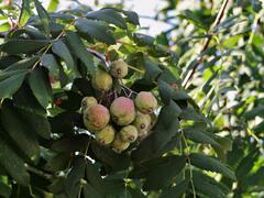 Jeřáb oskeruše - Sorbus domestica