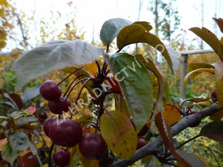 Okrasná jabloň 'Scarlett' - Malus toringo 'Scarlett'