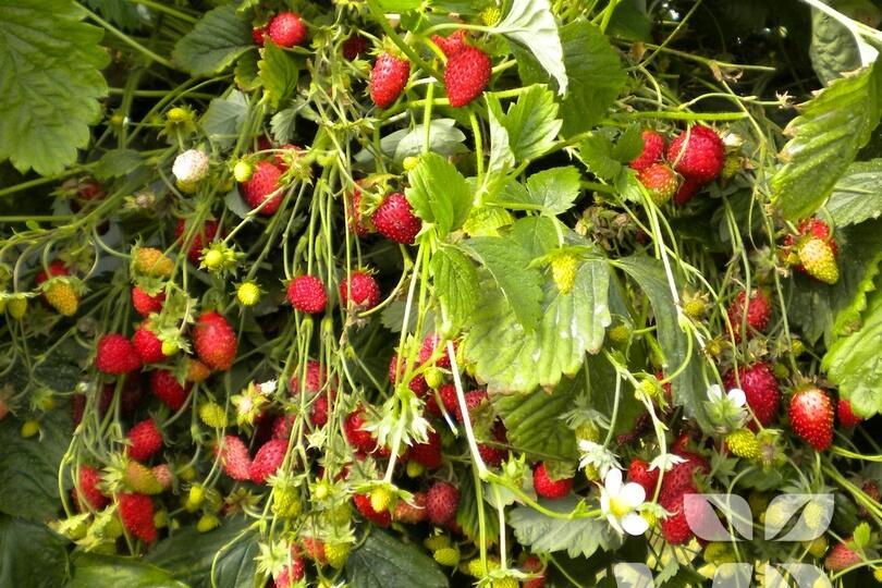 Jahodník měsíční 'Scarlet Beauty' - Fragaria vesca 'Scarlet Beauty'