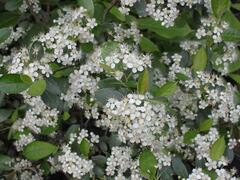 Temnoplodec černoplodý 'Hugin' - Aronia melanocarpa 'Hugin'